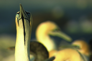 Gannets – The Wrong Side Of The Run