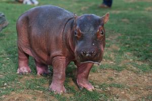 Drug-Kingpin-Hippo