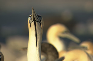 Gannets - The Wrong Side of the Run