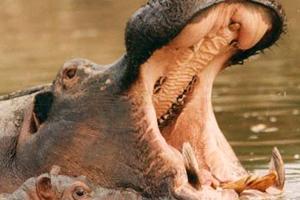 Hippo: Wild Feast Live