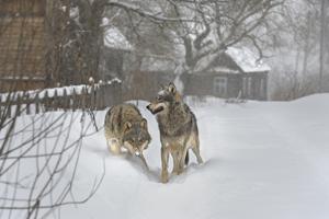 Radioactive Wolves