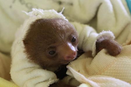 Too Cute! Baby Sloths