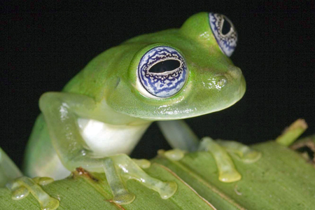 Frogs - The Thin Green Line