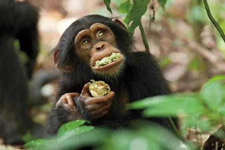 "disneynature's ""chimpanzee"""