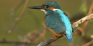 Copied from Playback - Kingfisher-Smithsonian-1