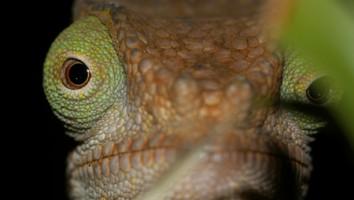 Chameleons of the World