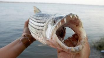 Tiger fish Zambezi river Zambia Zimbabwe Africa