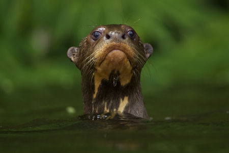 Giant Otters of Amazon (©Charlie Hamilton-Jones)