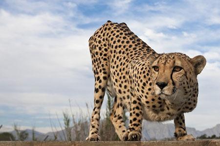 The Cheetah Diaries