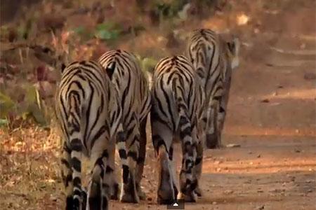 Tigress Blood