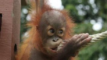 Meet the Orangutans