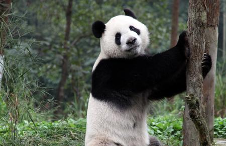 Panda's Wild Move