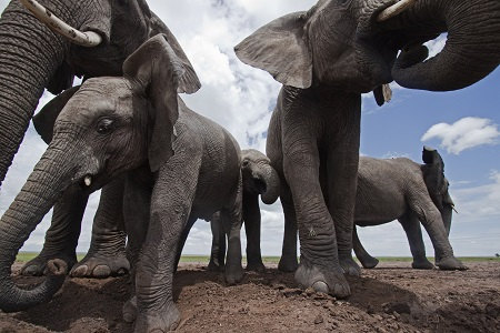 African elephants filmed in Kenya for Netflix's upcoming Our Planet series.