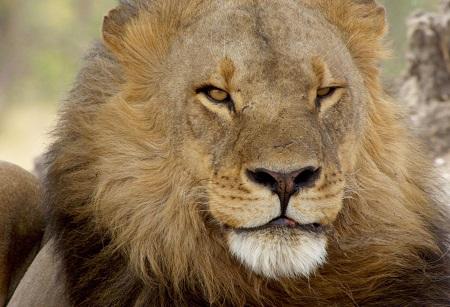 Return of the Giant Killers Africa's Lion Kings