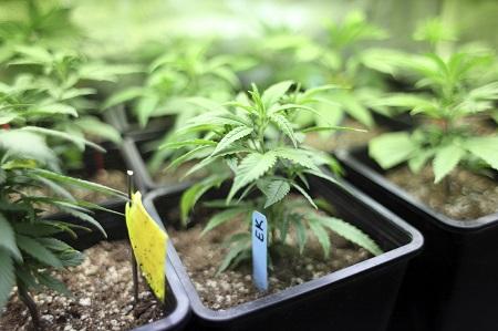 California High stills - clones in pots