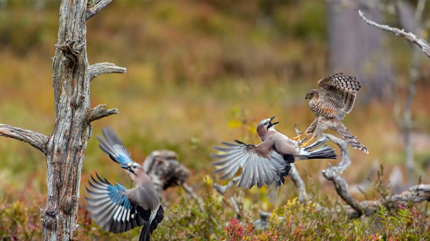 A fledgling sparrowhawk spars with a jay (Photo: Silverback Films)