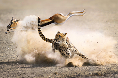 a cheetah hunts a thomson's gazelle (photo: gr�goire bouguereau)