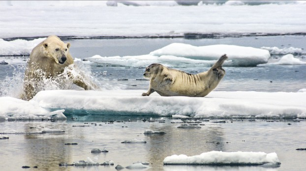 a polar goes in for the kill (photo: silverback films)