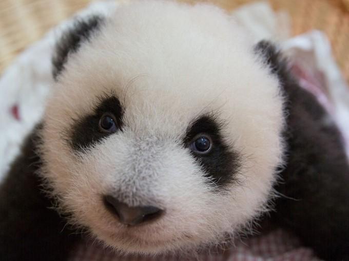 Nat Geo Wild Mission Control Panda Babies