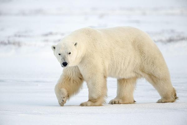 polar_bear_06