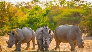 Flight-of-the-Rhinos