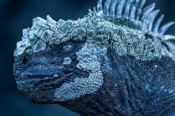 Marine Iguana_Mission Galapagos (C) Atlantic Productions Ltd
