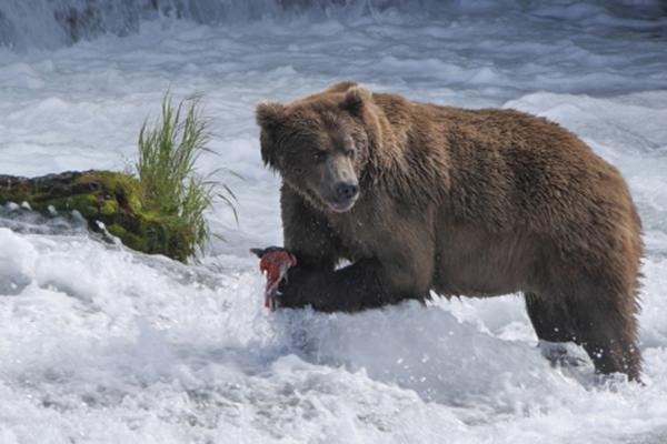 Brooks_Bear_with_Salmon