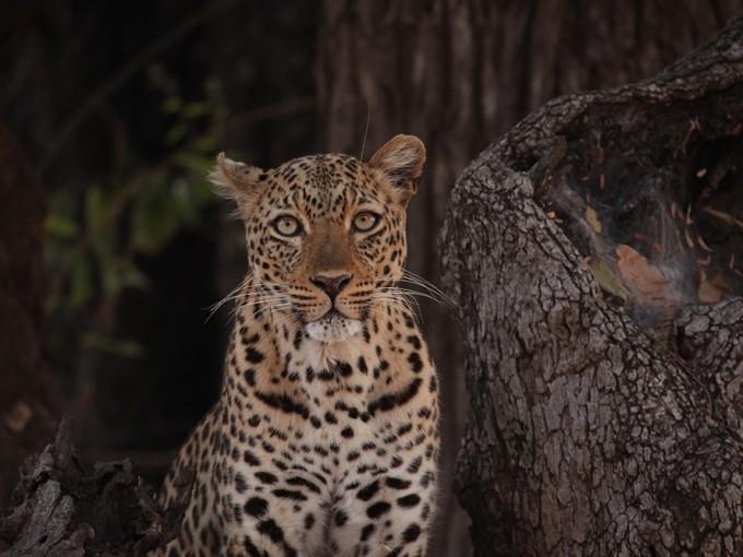Camp Zambia - Leopard - Africa's Hunters