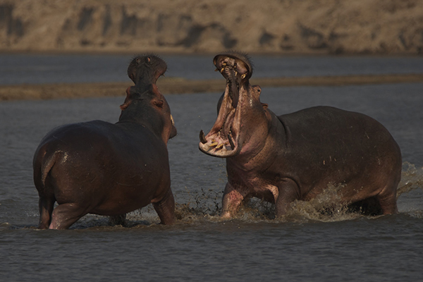 Hippos Fighting - Tales From Zambia