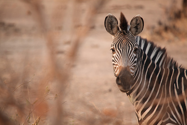 Zebra from Tales From Zambia - Camp Zambia Project