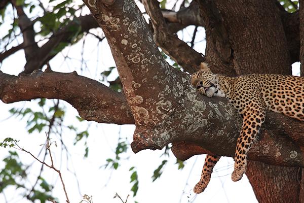 sleeping leopard - africa's hunters