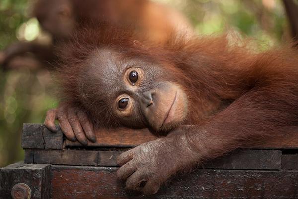Orangutan lying down