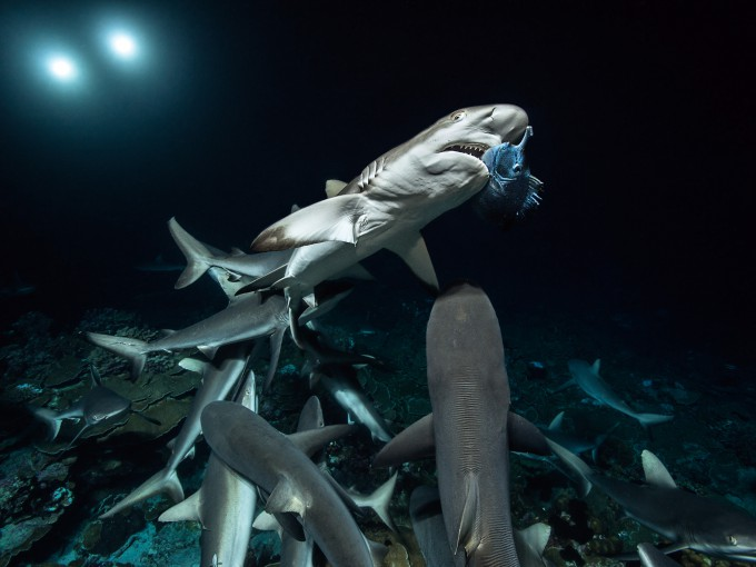 1-700 Sharks copyright Laurent Ballesta