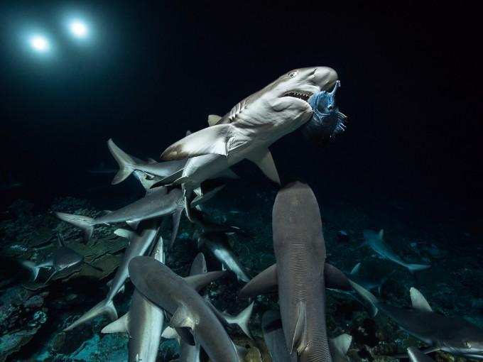 1-700 Sharks copyright Laurent Ballesta