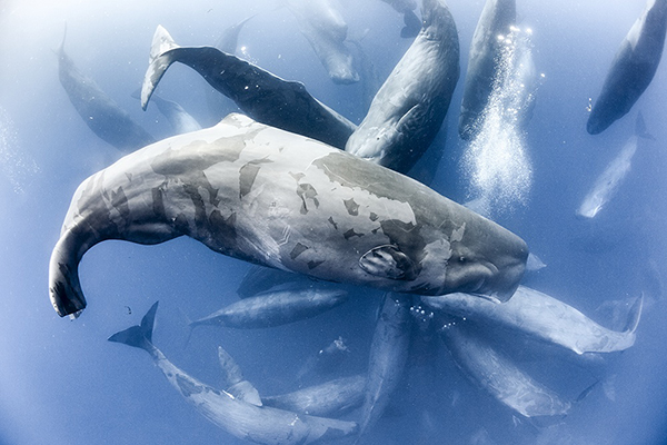 Large Aggregation of Sperm Whales