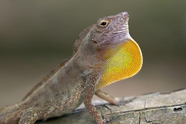 Law Lizard