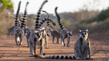 Gangs of Lemur Island