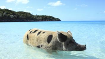 Amazing Pigs