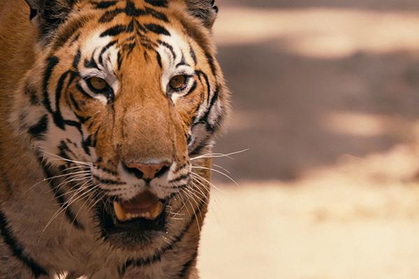 sundance_tiger_2