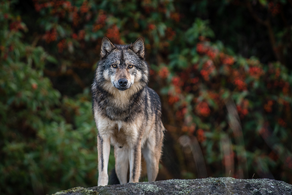 Lone Wolf image