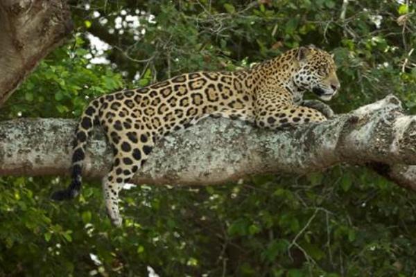 Jaguarland