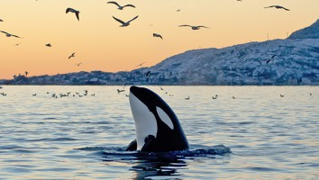 Orca emerging from the ocean at sunset with coast and birds