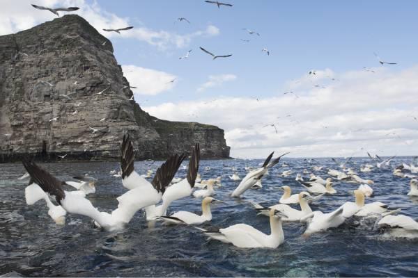 MARAMEDIA_SHETLAND_diving gannets (1)