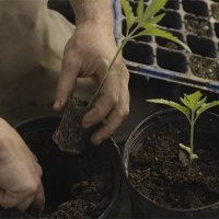 Flow Kana launches cannabis farmer docuseries