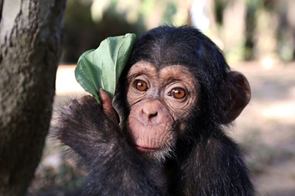 Baby Chimp Rescue