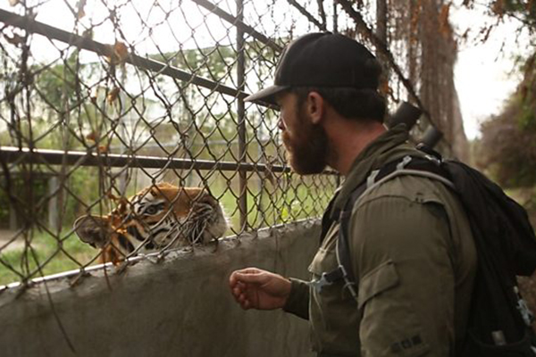 Tigers Hunting The Traffickers