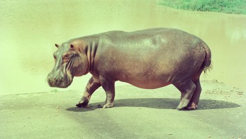 The Hunt for Escobars Hippos
