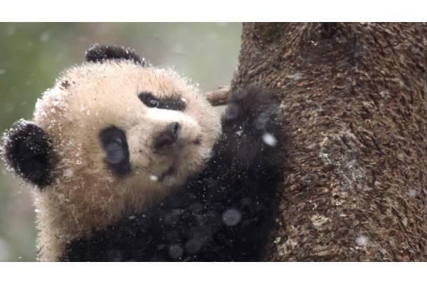 pandas born to be wild